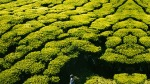 Tea_gardens_of_Munnar_107