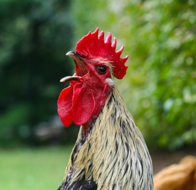 Sleeping with Roosters – Sleep deprivation at home and when traveling