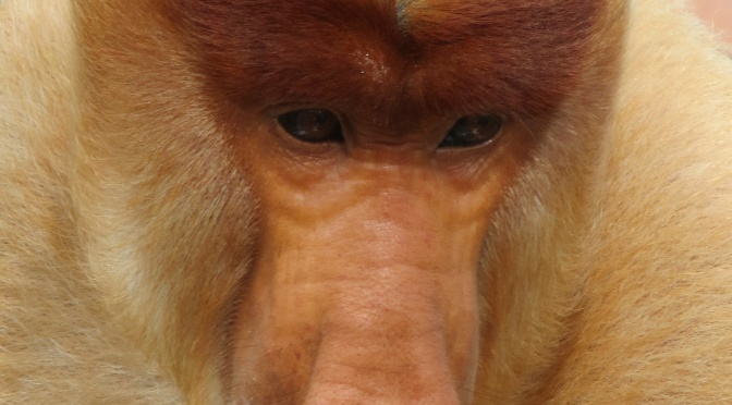 #84 See The Proboscis Monkeys in Borneo: 100 family travel experience