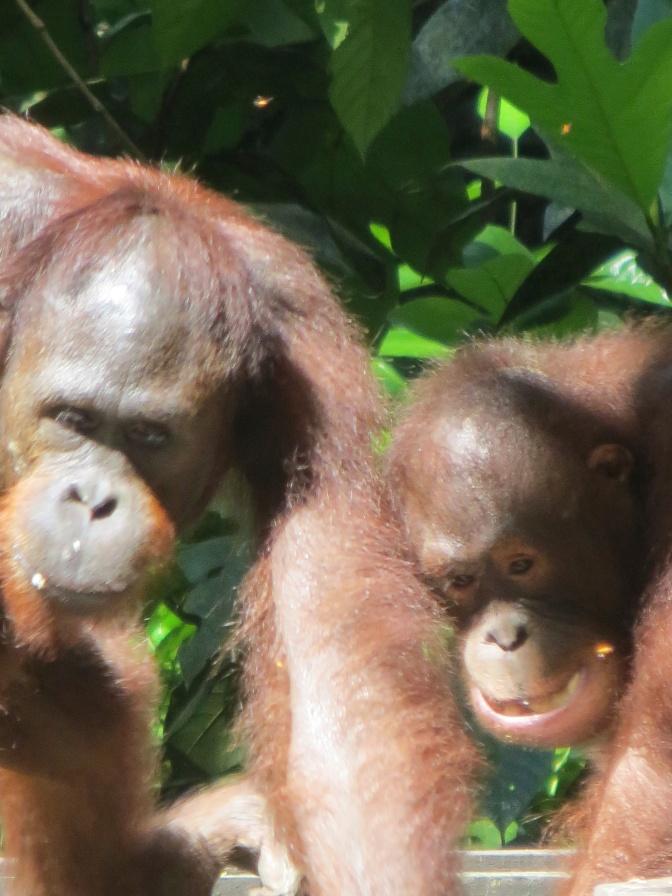 #54 Visit Orangutans in Borneo At Sepilok Rehabilitation center, Sabah, Borneo: 100 Family Travel Experiences
