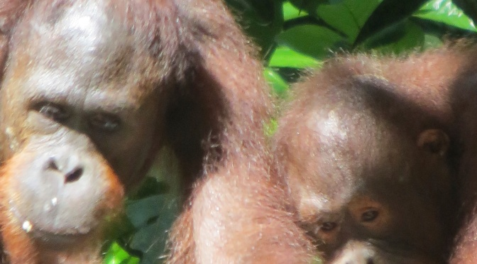 #54 Visit Orangutans in Borneo At Sepilok Rehabilitation center, Sabah, Borneo: 100 Family Travel Experiences